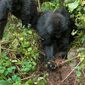 Infant-gorillas-remove-poacher-snares_56901_600x450