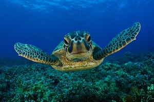 Green-seaturtle-2